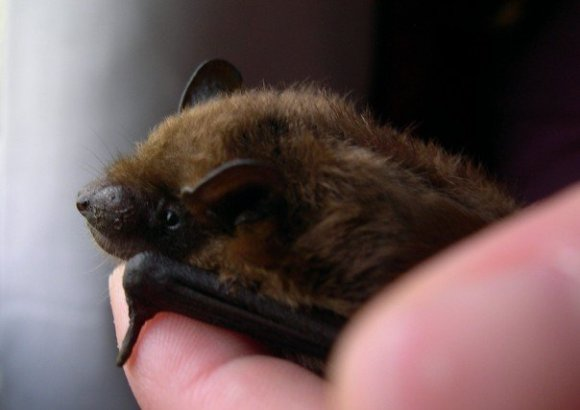 This is the first bat I ever rescued; a big brown bat (Eptesicus fuscus). Notice how I'm handling it without gloves? DON'T DO THAT. (The only reason I wasn't wearing gloves with him was because I'm up to date on my rabies vaccinations, and I knew for a fact that this little guy wasn't sick since I'd been caring for him for a while)