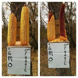 Proof that squirrels can detect the bad chemicals in GM corn?