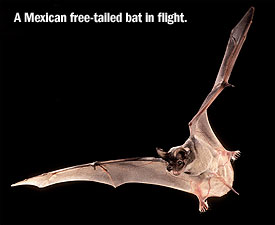 A Mexican free-tailed bat in flight. Image from http://fairoaksranch.communitycircular.com/articles01-bat-cave.php
