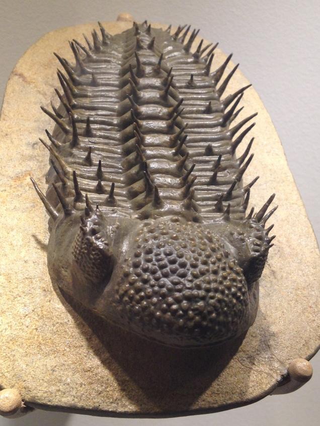 Spiky trilobite