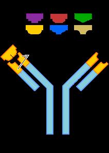 Antibodies bind antigens (From: http://en.wikipedia.org/wiki/Antibody)